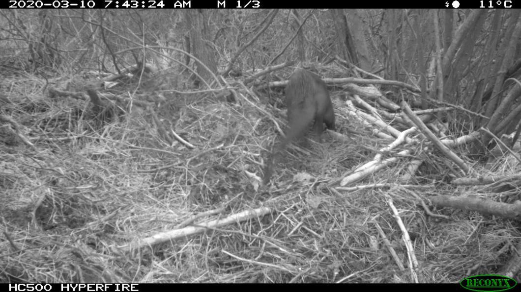 beaver chasing otter (1)
