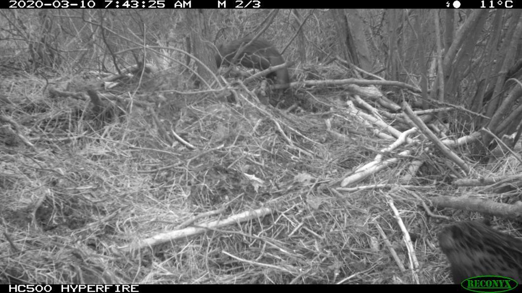 beaver chasing otter (2)